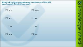 Which intracellular molecules are a component of the BCR  signalosome ? Select all that apply.