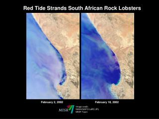 Red Tide Strands South African Rock Lobsters