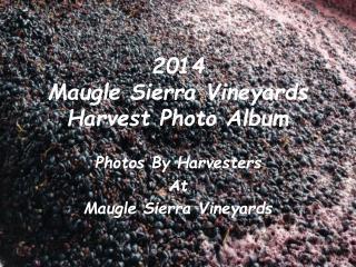 2014  Maugle Sierra Vineyards Harvest Photo Album