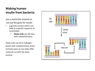 Making human insulin from bacteria: