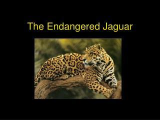 The Endangered Jaguar