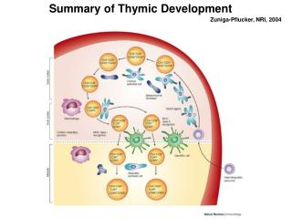 Summary of Thymic Development