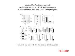 V Aimanianda  et al. Nature 460 ,  1117 - 1121  (2009) doi:10.1038/nature08 264