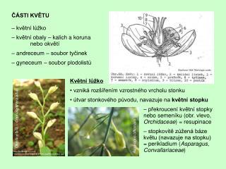 ČÁSTI KVĚTU – květní lůžko – květní obaly – kalich a koruna              nebo okvětí