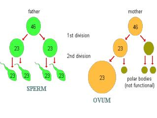 Name the parts of the male reproductive system.  Describe sperm production, storage and function.