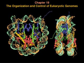 Chapter 19 The Organization and Control of Eukaryotic Genomes