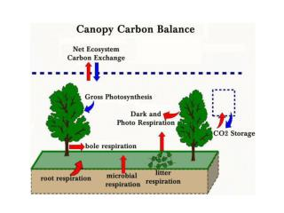 Plant Canopies and Carbon Dioxide Flux At night:  	- flux directed from canopy to the atmosphere
