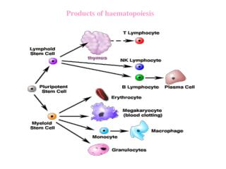 Products of haematopoiesis