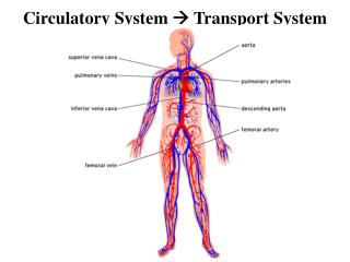 Circulatory System  ?  Transport System