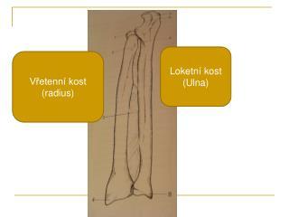 Loketní kost (Ulna)