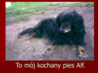 To mój kochany pies Alf.