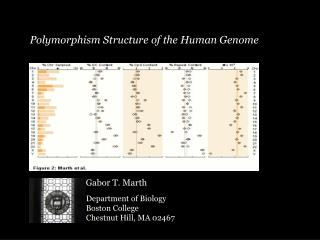 Polymorphism Structure of the Human Genome
