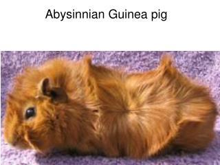 Abysinnian Guinea pig