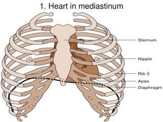 1. Heart in mediastinum