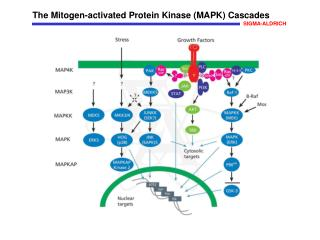 The Mitogen-activated Protein Kinase (MAPK) Cascades