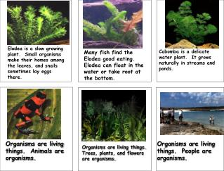 Many fish find the Elodea good eating.  Elodea can float in the water or take root at the bottom.