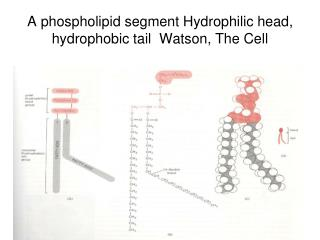 A phospholipid segment Hydrophilic head, hydrophobic tail  Watson, The Cell
