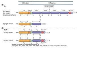 Az  immunoglobulin  szerkezete