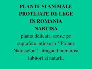 PLANTE SI ANIMALE PROTEJATE DE LEGE  IN ROMANIA NARCISA planta delicata, creste pe