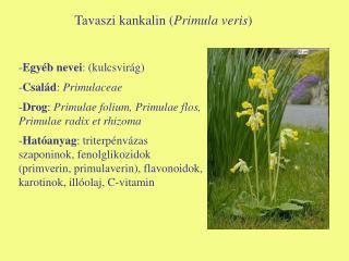 Tavaszi kankalin ( Primula veris )