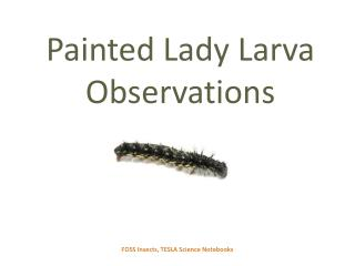 Painted Lady Larva Observations