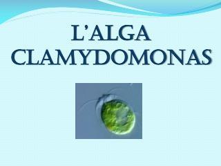 L'alga Clamydomonas