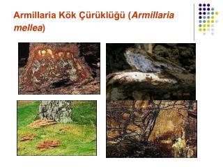 Armillaria Kök Çürüklüğü ( Armillaria mellea )