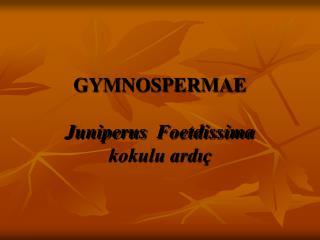 GYMNOSPERMAE Juniperus Foetdissima kokulu ardıç