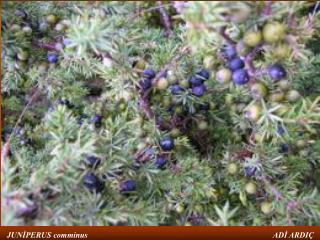 ALEM:plantea BÖLÜM:pinophyta SINIF:Pinopsida TAKIM:Pinales FAMİLYA:Cupressaceae CİNS:Juniperus