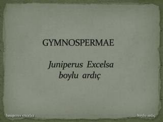 GYMNOSPERMAE Juniperus Excelsa boylu  ardıç