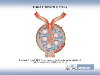 Figure 4  Phenotype of aPECs