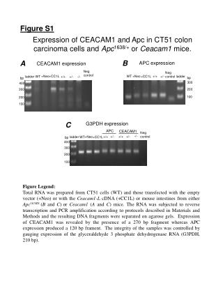 Expression of CEACAM1 and Apc in CT51 colon carcinoma cells and  Apc 1638/+  or  Ceacam1  mice.