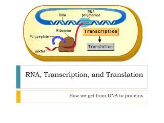RNA, Transcription, and Translation