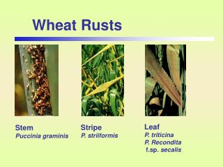 Wheat Rusts