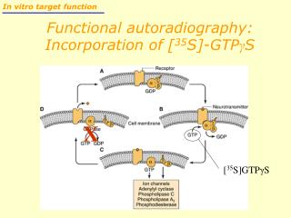 Functional autoradiography: Incorporation of [ 35 S]-GTP γ S