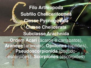 Filo  Arthropoda Subfilo  Cheliceriformes Classe  Pycnogonida Classe  Chelicerata