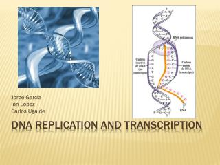 DNA replication and transcription
