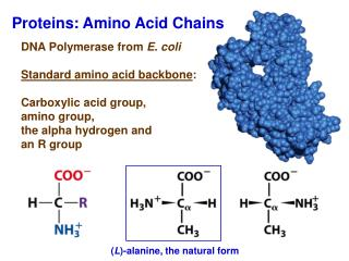 Proteins: Amino Acid Chains