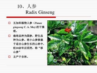 10、人参 Radix Ginseng