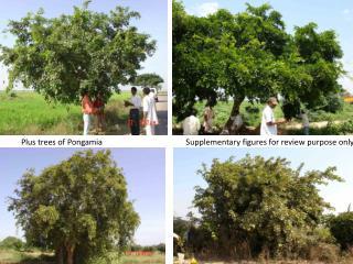 Plus trees of Pongamia