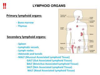 Prim a r y  lymphoid organs : -  B one marrow -  T hymus