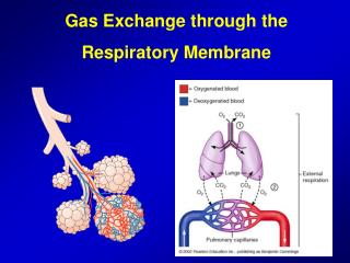 Gas Exchange through the Respiratory Membrane