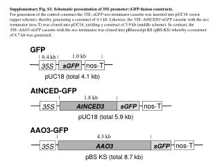 Supplementary  Fig. S1. Schematic presentation of 35S promoter::GFP-fusion constructs.