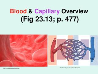 Blood  &  Capillary  Overview (Fig 23.13; p. 477)