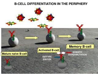 Activated  B -cell