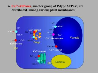 6.  Ca 2+ -ATPases , another group of P-type ATPase, are