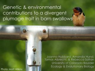 Genetic & environmental contributions to a divergent plumage trait in barn swallows