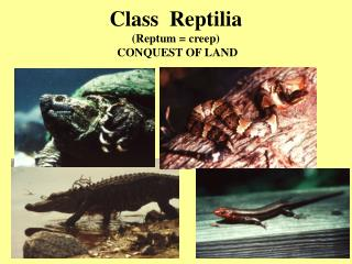 Class  Reptilia  (Reptum = creep)  CONQUEST OF LAND