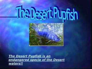 The Desert Pupfish