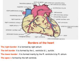 Borders of the heart The right border: It is formed by right atrium